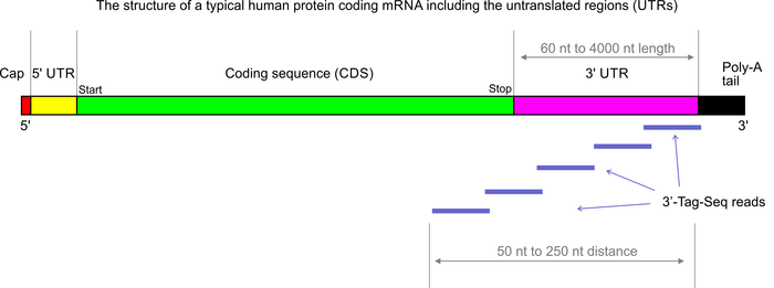 Tag-Seq reads on mRNA2_700x261